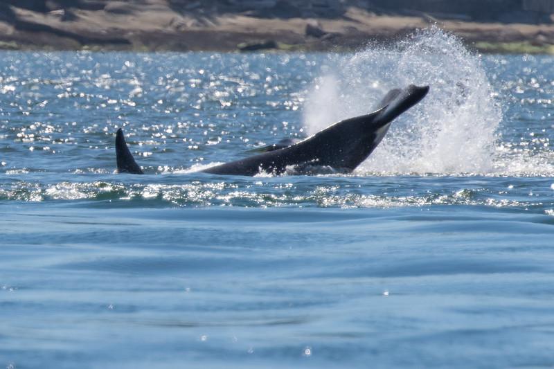 Orcas -  073115-088.jpg