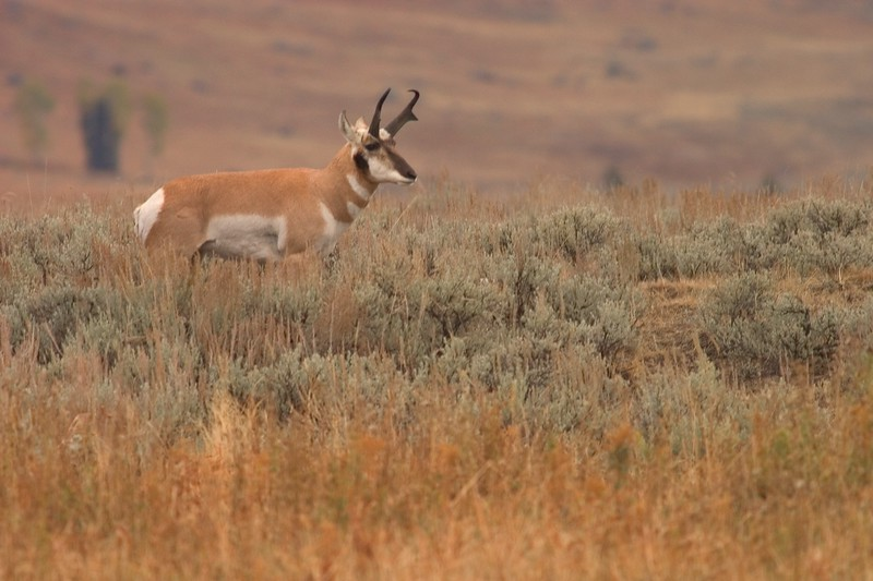 Pronghorn buck Yellowstone 766_6660.jpg
