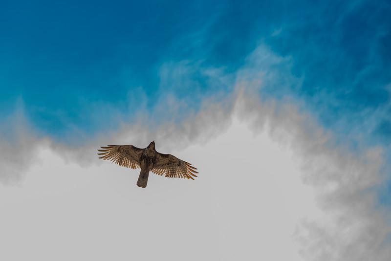Soaring Atlanta Hawk