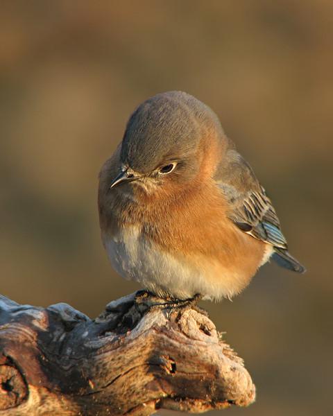 bluebird_2611.jpg