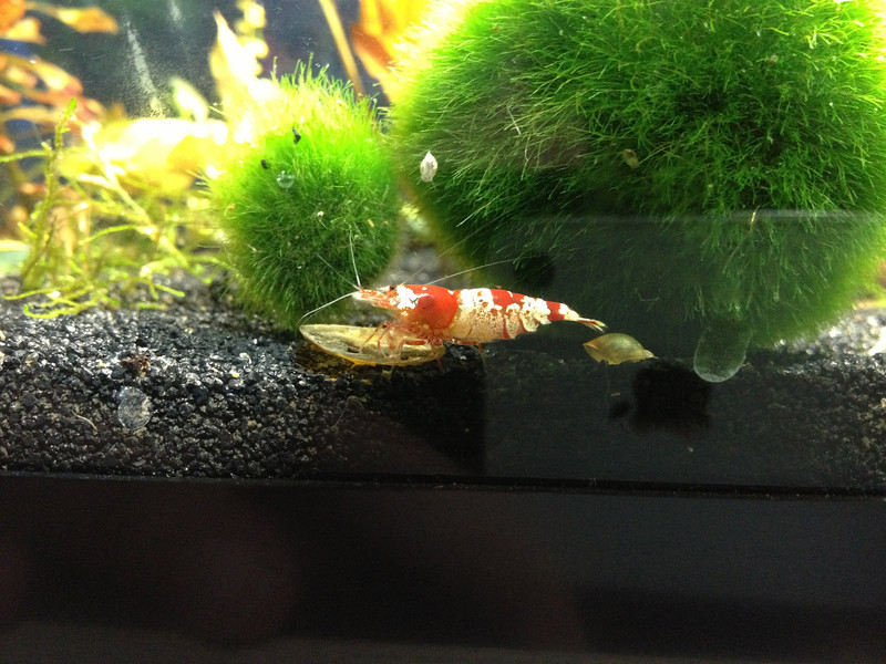 Crystal red shrimp (8797497958).jpg