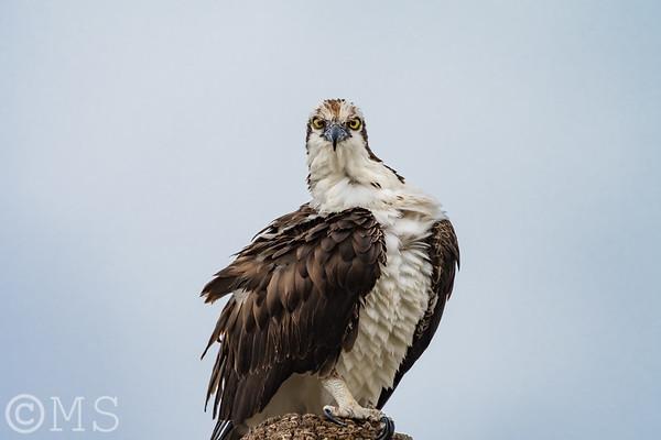 Osprey Image Gallery