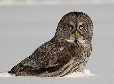 Owls / Hiboux