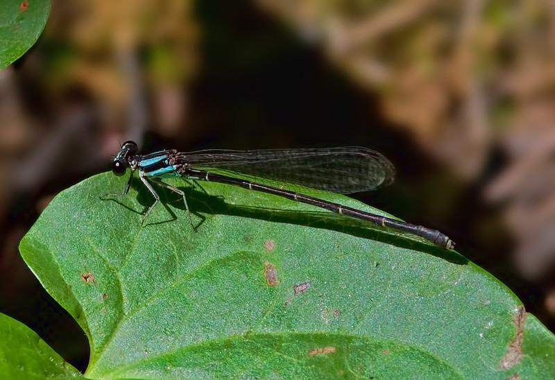 Female, blue form, Abbott's Mill Nature Center
