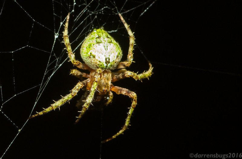 It's not every day you see a green orb weaver. :O (Araneidae, possibly Eustala sp., from Cocobolo Nature Reserve, Panama)