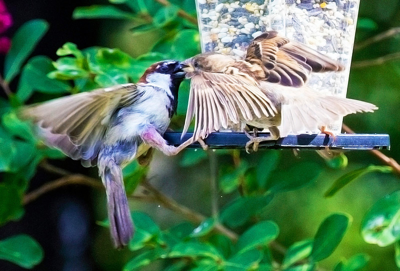 Sparrows contending over a morsel -- appear to be kissing