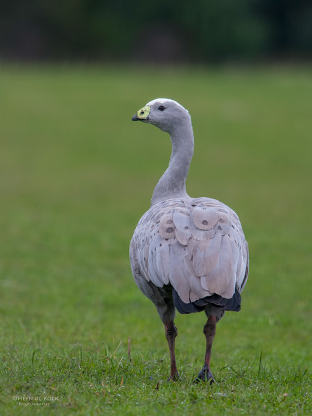 Cape Barren Goose, Eaglehawk Neck Pelagic, TAS, July 2015-3.jpg