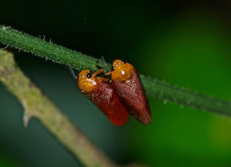 Leaf Hoppers - Vietnam