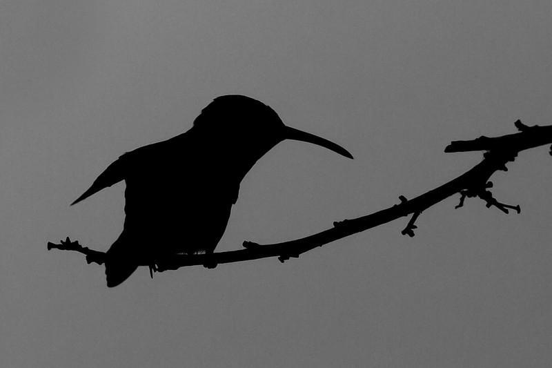 Rufous-Tailed-Hummingbird-Silhouette-2010-01-0029.jpg