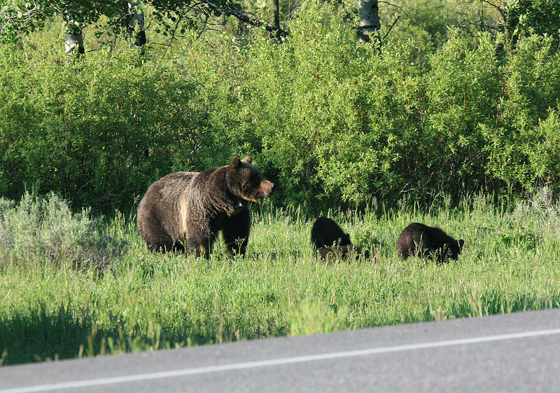 Grizzly bear and three cubs. Taken at Grand Tetons as well