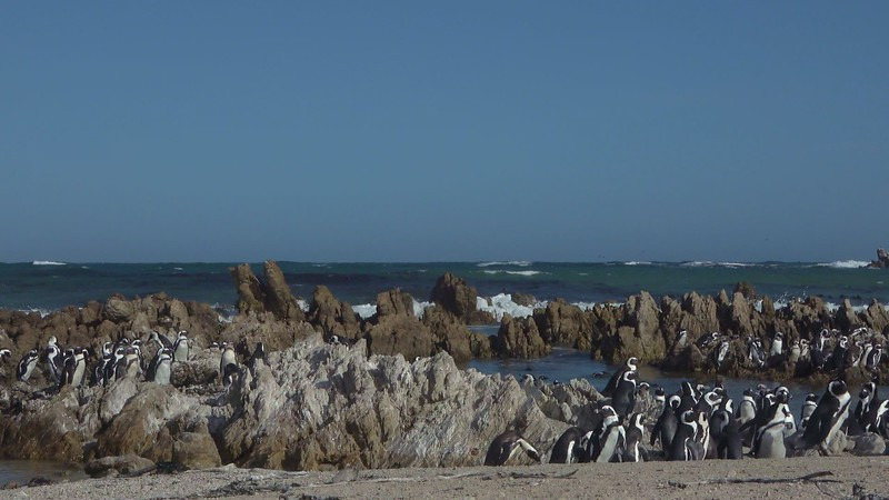 African Penguin Colony