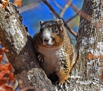 Eastern Fox Squirrels - sciurus niger