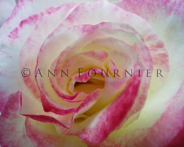 Roses - Pink/Peach