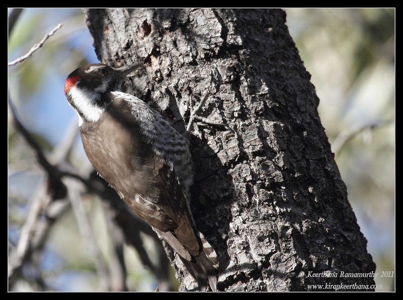 Arizona Woodpecker at the Mt. Wrightson parking lot, Madera Canyon, Arizona, November 2011