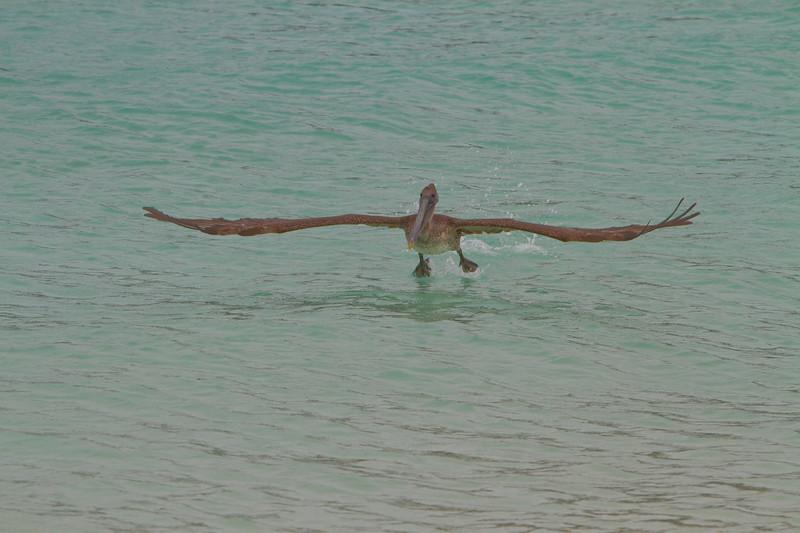 Brown Pelican take off on Cerro Brujo 2, San Cristobal.jpg