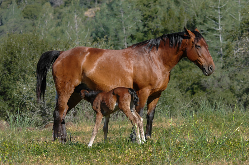 Newborn Wild Horse Foal Nursing