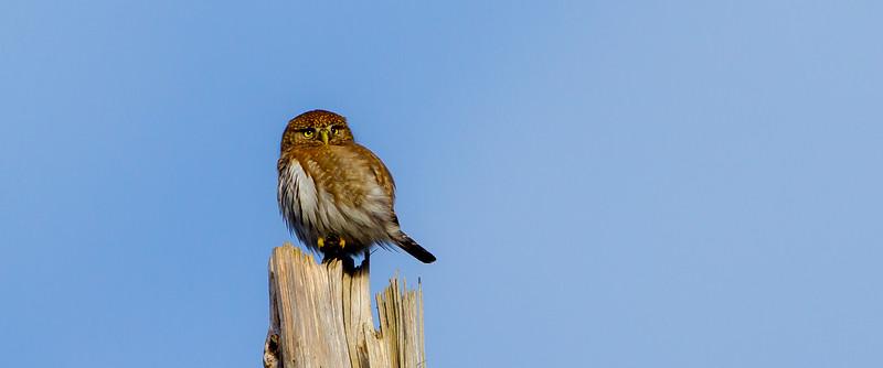Northern Pygmy Owl (Glaucidium gnoma)