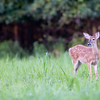 A whitetaill fawn standing in meadow