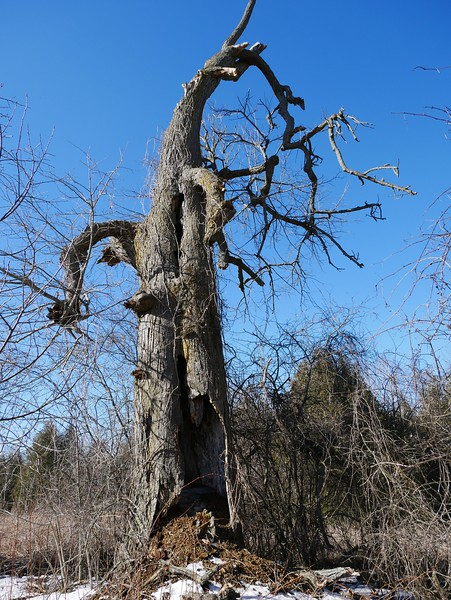 Porcupine - scat at base and various den entrances in old Basswood tree