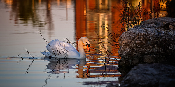 Nesting Swans 2016 - Collingwood Shipyards