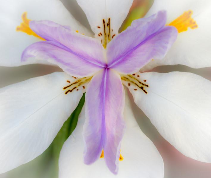 Fairy Iris