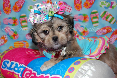 2011 DAISY PUPPIES  Adopted For $675.00 Or Less
