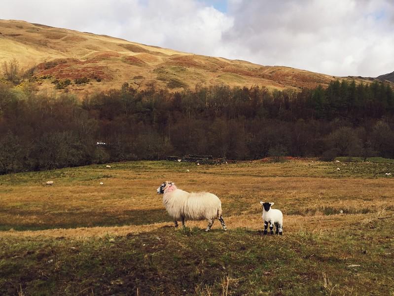 Scottish Blackface ewe and lamb