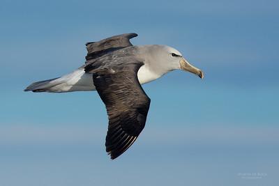Salvin's Albatross (Thalassarche salvini) VU
