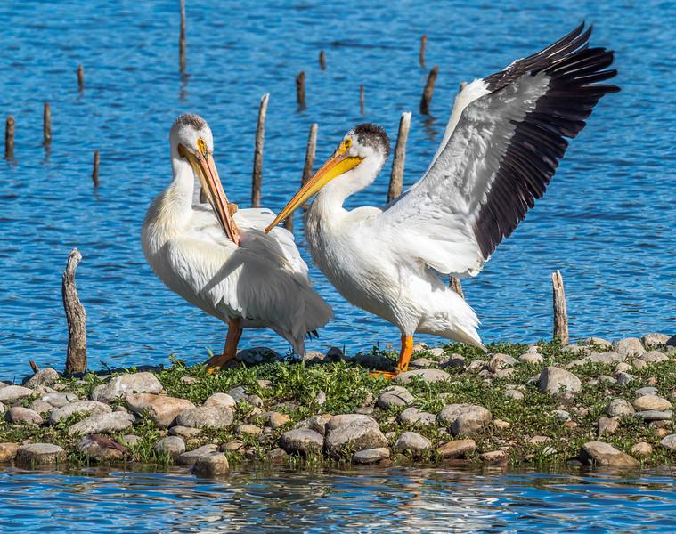 03 0083 Pelican Embrace 3.jpg