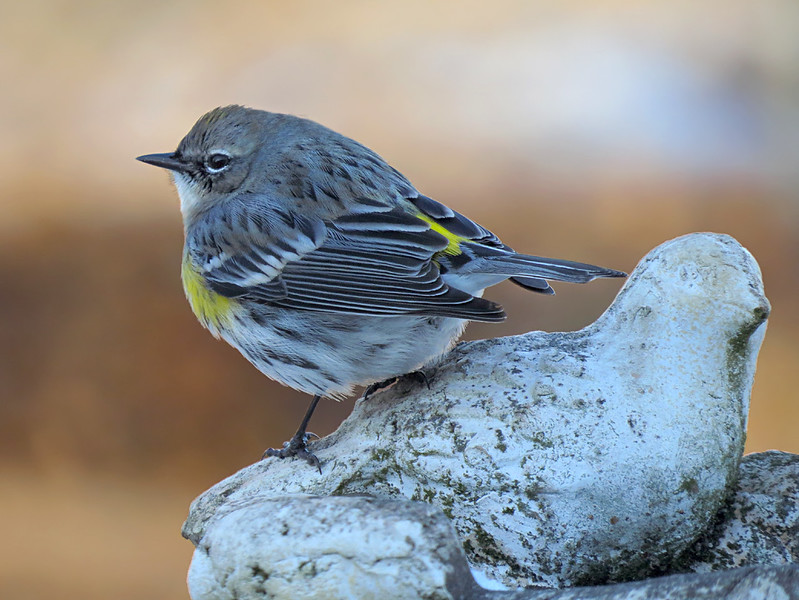 sx50_yellow_rumped_warbler_boas_185.jpg