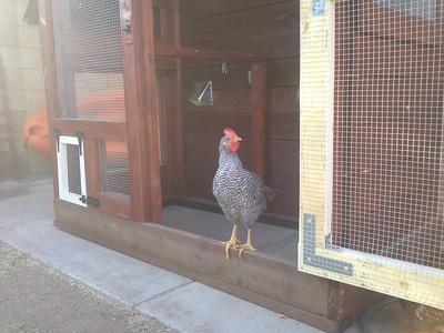 Chicken Coop and Chicken Pics