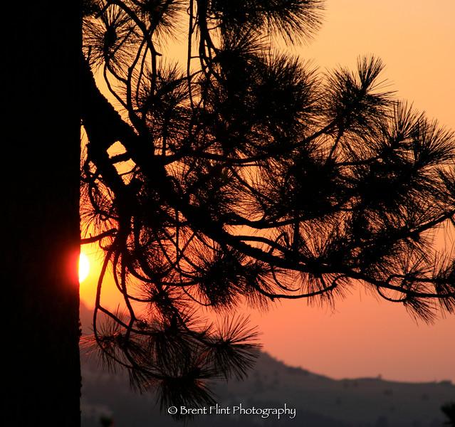 DF.3169 - sunset through ponderosa pine branches, Liberty Lake County Park, WA.