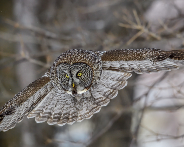 Great Gray Owl - Refuge faunique Marguerite-D'Youville, Île Saint-Bernard, Châteauguay, QC CANADA