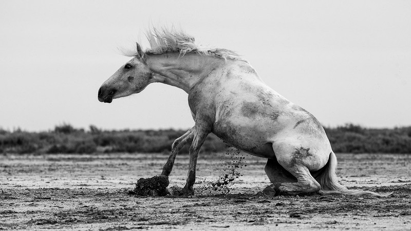 Camargue White Horse rolling in the mud.