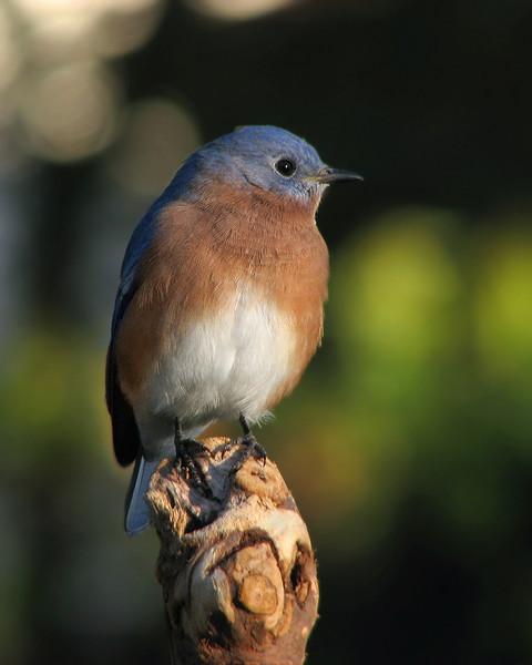 bluebird_fledgling_2867.jpg