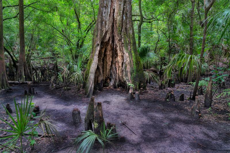 Hollow Cypress