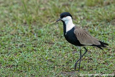 Spur-winged Lapwing, Kenya