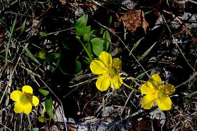 Buttercups (Ranunculus)