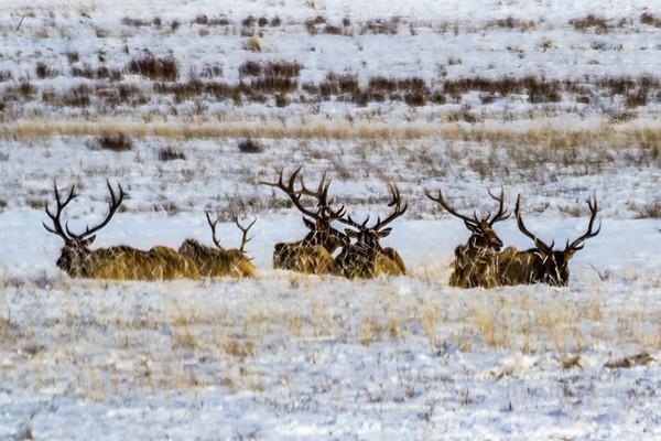 Elk in the Grand Tetons Wyoming