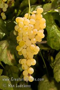 Himrod Grape (Seedless) - Vitis vinifera cross