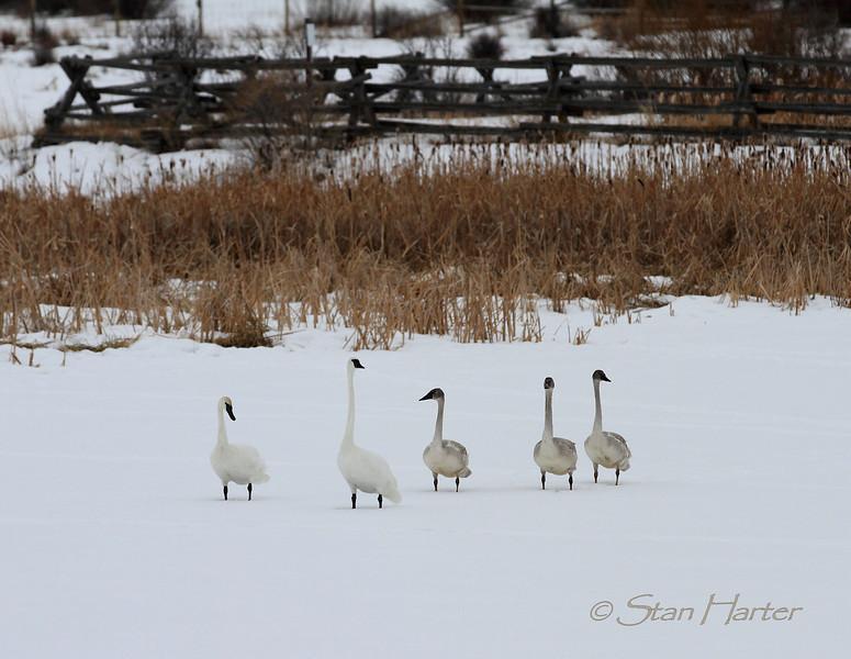 Flat Creek Swan Family.jpg