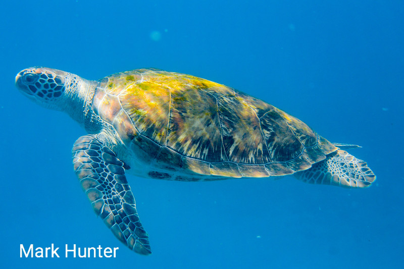 Sunlit Green Turtle Swimming