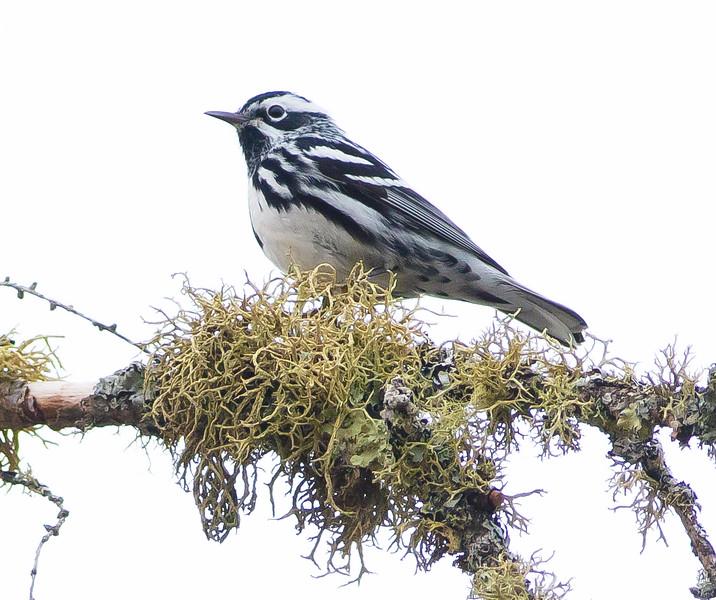 Black-and-white Warbler Wednesday Sax-Zim Bog MN DSC07165.jpg