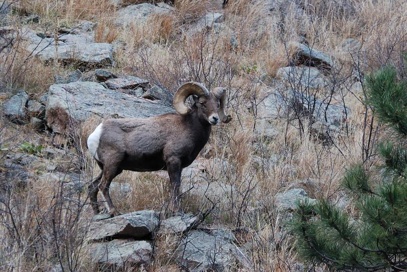 Bighorn Sheep 12062008 138.jpg