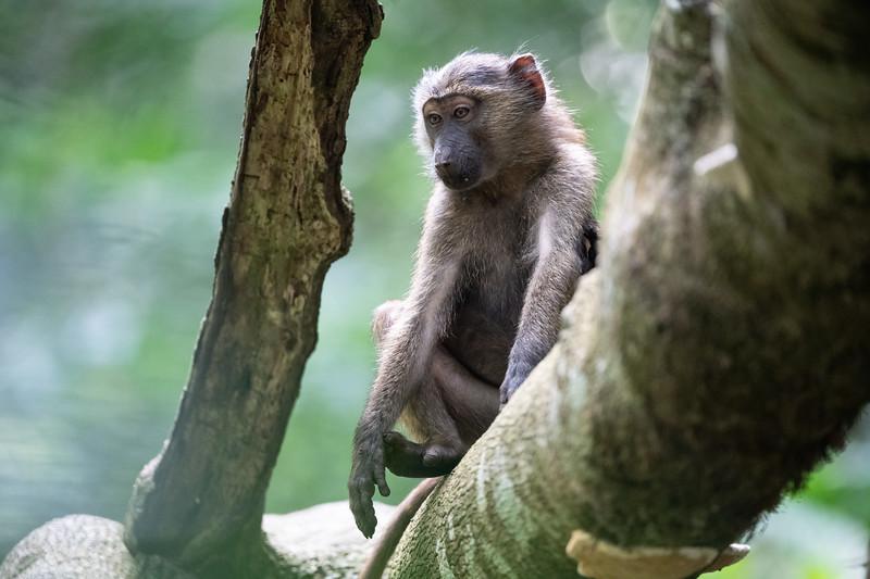 Uganda_T_Chimps-1515.jpg