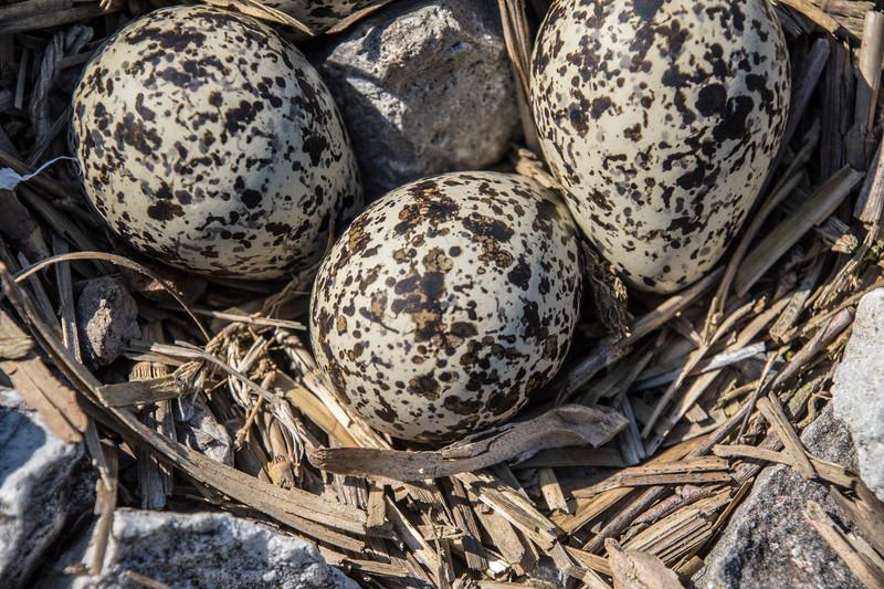 Killdeer-eggs-nest-closeup-Canton.jpg