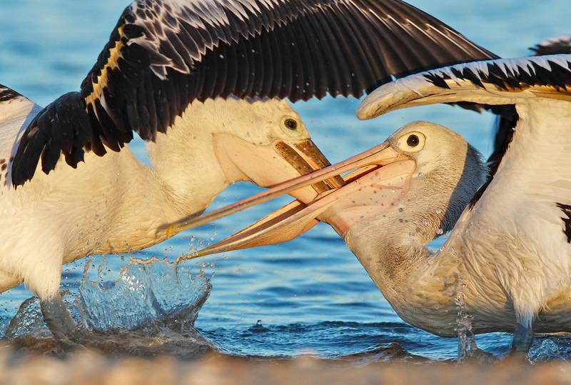 Pelican feeding MASTER.jpg