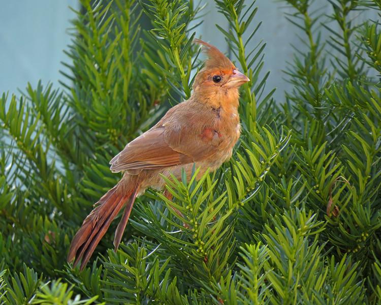 sx50_cardinal_fledgling_bit_583_1.jpg