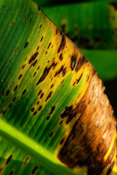 banana leaf 0226