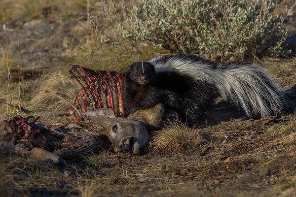 Skunk Defends Deer Carcass Montana 2012